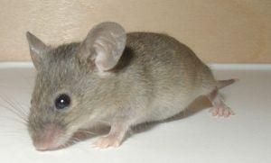 Poison Free Mice Control