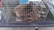 Raccoon Family in a Trap