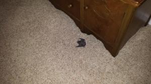 Bat lying on the floor.