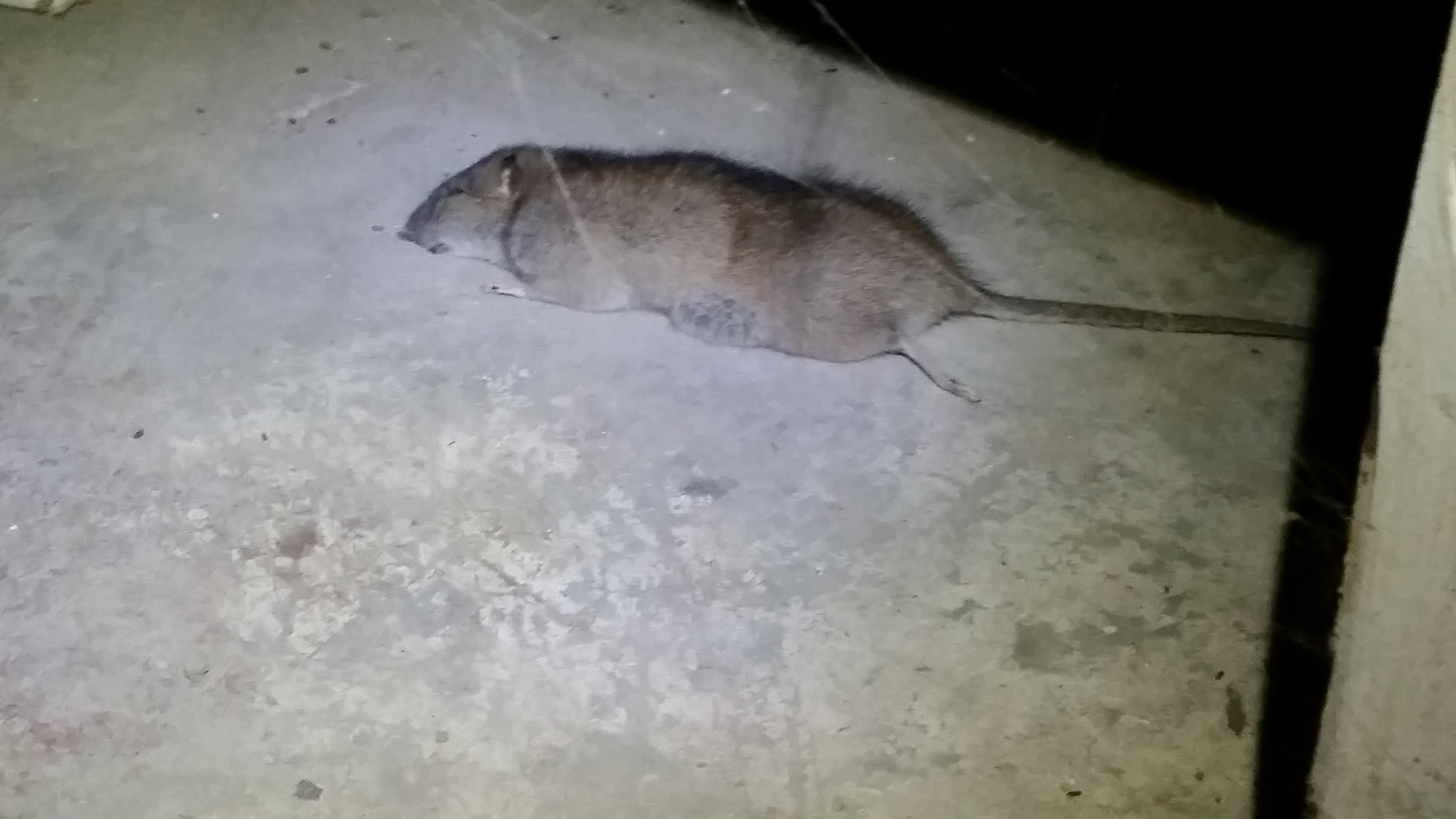 of a dead rat in the basement of a new homeowner in birmingham mi the