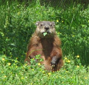 632px-Groundhog,_eating