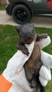 One of the Baby Squirrels from the Litter