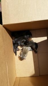 Litter of Baby Squirrels