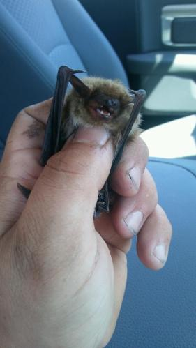 Bat Removal Oakland Twp. MI