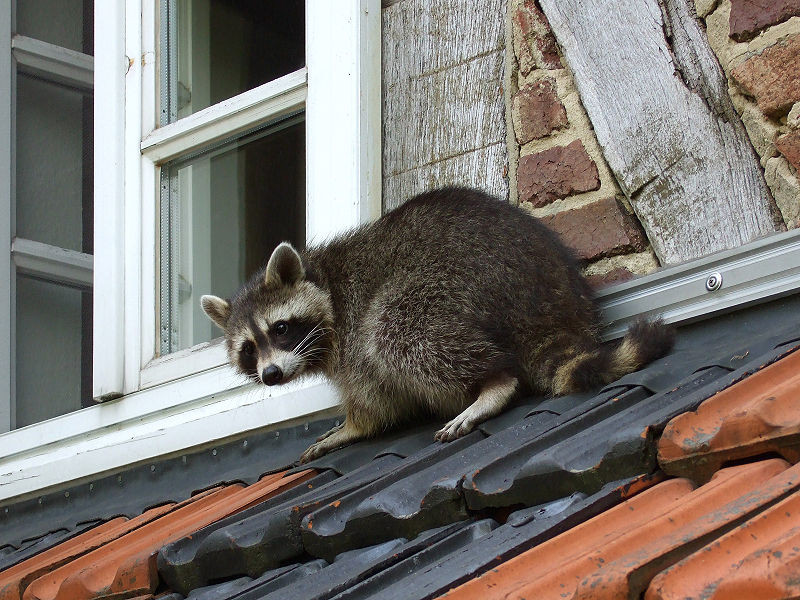 Attic Raccoon